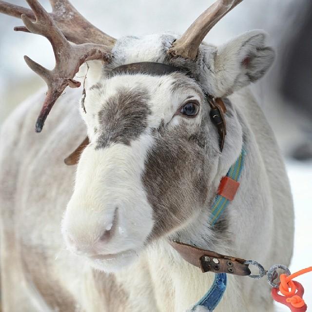 Ren. Ammarnäs, Lappland.